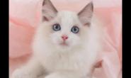 平常要怎么养好布偶猫