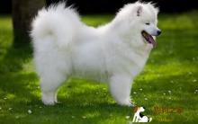 了解萨摩耶犬习性 美容照顾很简单
