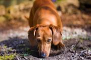 狗狗诺卡氏菌病的症状、原因和治疗方法