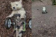 """狗狗患脊髓癌""""林间飙车"""" 轮椅翻倒大声呼叫...获救继续冲"""