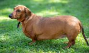 狗狗越胖越不想动 保护关节也守护它的健康