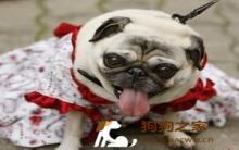 宠物衣服设计:狗狗三围测量方法