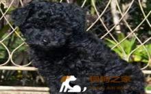 【贵宾犬怎么养】贵宾犬的选购饲养及训练