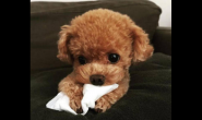 还没两个月大的泰迪狗狗要怎么养
