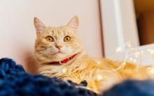 猫咪输血很难配吗?一次看懂猫咪输血小秘密