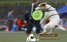 训练狗狗接飞盘的方法步骤 狗会爱上它