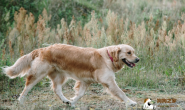 狗狗东抓西抓是怎么了?从抓痒位置来判断可能得了哪种皮肤病