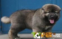 高加索犬怎么美毛?吃什么对毛发好?