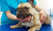 狗狗异常磨牙发育的症状、原因和治疗措施