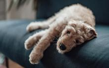 狗狗缺铁性贫血的症状、原因和治疗方法