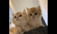 小时候的猫咪要注意哪些喂食要点