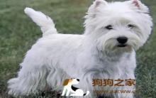 西莎狗美容:毛发护理与禁忌