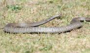 斯塔福德郡梗从蛇袭击中拯救了弟弟