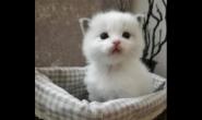 多少天大的小猫咪能吃猫粮