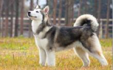 苏格兰牧羊犬训练的三阶段