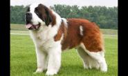 养一只大型犬是一种什么体验?
