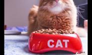 胖猫咪想减肥?不吃饭可能会引发脂肪肝问题