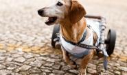 老年犬怎样定义及护理注意事项