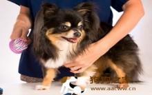 宠物美容:狗狗梳毛重点及技巧