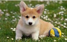 百变天后贵宾犬训练教程 迎送和握手训练