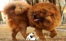 西藏獒犬认识及训练方法