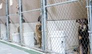 狗狗感染博德特氏菌的症状、原因和治疗方案
