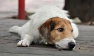 狗狗狼疮:症状、原因、诊断和治疗