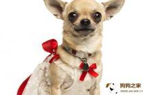 给吉娃娃准备狗窝对饲养与训练工作有哪些帮助