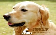训练饲养黄金猎犬28要点