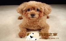 贵宾幼犬饮食及训练方法