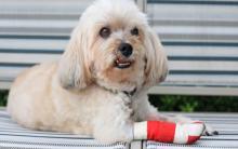 狗狗鳞状细胞癌的症状、原因和治疗