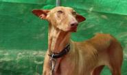 狗狗的甲状腺功能亢进症:症状、原因和治疗