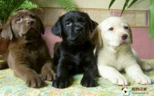 拉布拉多犬饲养及美容护理