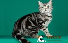 美国短毛猫个性及外观特征