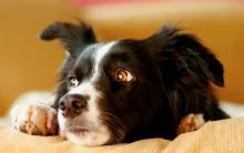 狗狗非再生性贫血的症状、原因和治疗方法