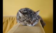 超级爱干净?猫咪狂舔尿道口其实是因为泌尿道出问题啦!