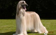 阿富汗猎犬喂养及美容技巧