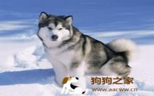 阿拉斯加雪橇犬毛发营养护理