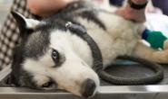 狗狗外伤性心肌炎的症状、原因和治疗方法