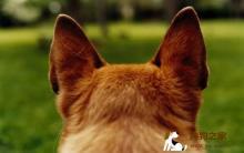 狗狗耳部护理 远离耳朵疾病