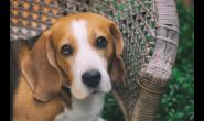 如何看出狗狗眼睛不舒服的信号?眼部护理知识不可少