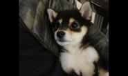 幼犬期的柴犬狗狗要怎么喂养