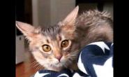 什么是飞机耳?猫咪为什么会有飞机耳简单解释给你听