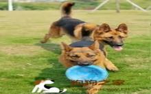 训练狗狗玩飞盘10个建议