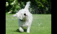 注意了!狗狗这超可爱的动作竟与耳朵疾病有关系?