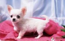 吉娃娃犬居家训练及饲养方法