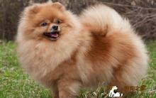 博美犬的狗毛护理