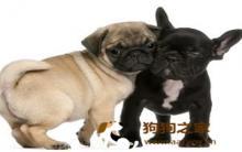 巴哥犬饲养及护理15项要点