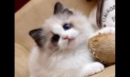 布偶猫适合吃什么猫粮 好猫粮怎么样