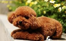 保证泰迪犬不受到寄生虫的伤害